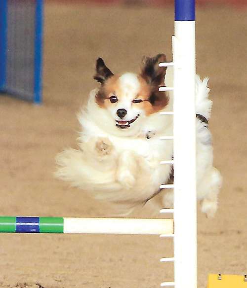 Dallas shown here competing at a competition in Florida. (Credit: Joanne Bridges/Furry Fotography)