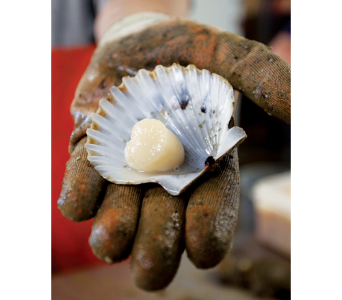 Bay scallop season opens today