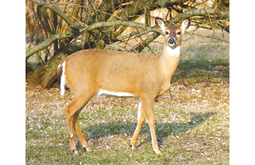 Deer cull opponents — an unlikely combination of hunters and animal advocates — have called the federally run hunt inhumane and a threat to hunters' rights. Others say deer are a threat to human life and property. (Credit: file photo)