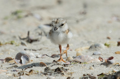 A newly hatched piping plover photographed last Thursday on Cedar Beach in Southold. (Credit: Tom Reichert)