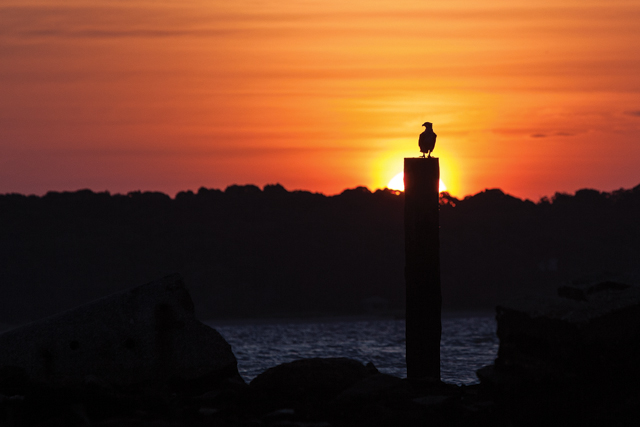 KATHARINE SCHROEDER PHOTOAn osprey watches the sun rise at the waterfront in New Suffolk.