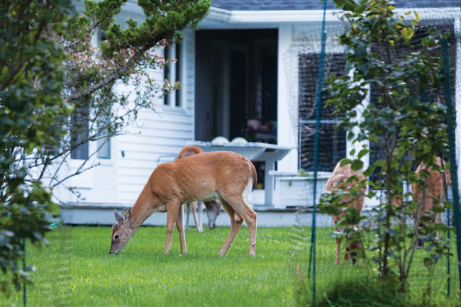 White-tailed deer grazing in Southold Tuesday. (Credit: Katharine Schroeder)