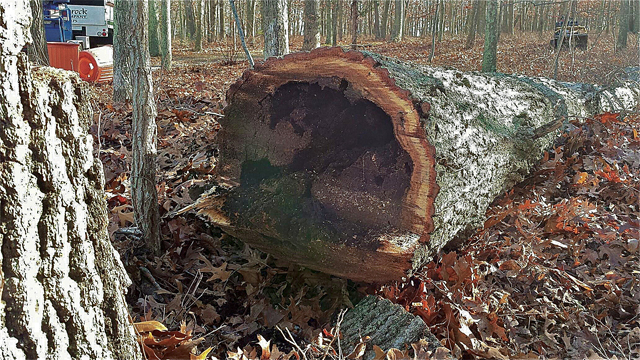 A tree in Peconic cut down due to decay. (Credit: Jonathan Shipman)