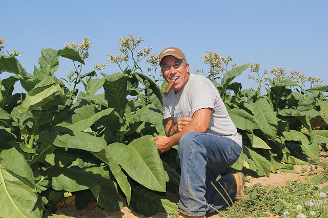 Michael Chuisano of Orient Point said his broadleaf tobacco should be ripe for picking within the next two weeks. After the leaves are hung in a barn to dry for eight t weeks, they will be sold to a buyer for distribution. (Credit: Carrie Miller)