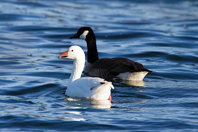 A snow goose with a Canada goose. (Credit: Chris Paparo)