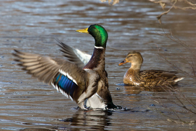 A mallard drake and hen. (Credit: Chris Paparo)