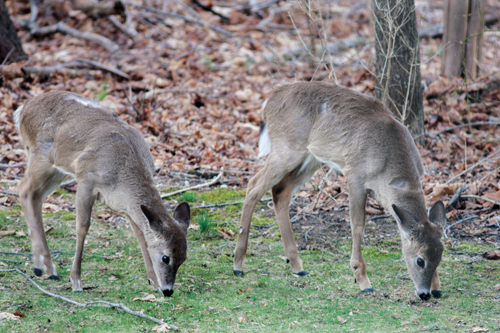 Two deer grazing behind a Cutchogue home on Tuesday. Lawmakers hope looser setback regulations will help manage deer populations. (Credit: Katharine Schroeder photo)