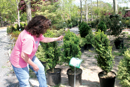 North Forkers preparing for boxwood blight