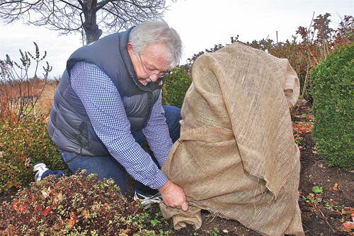 BARBARAELLEN KOCH PHOTO | Dave Cichanowicz, owner of Creative Environments in Peconic, demonstrates the proper way to wrap a boxwood to protect it from winter winds and snow.