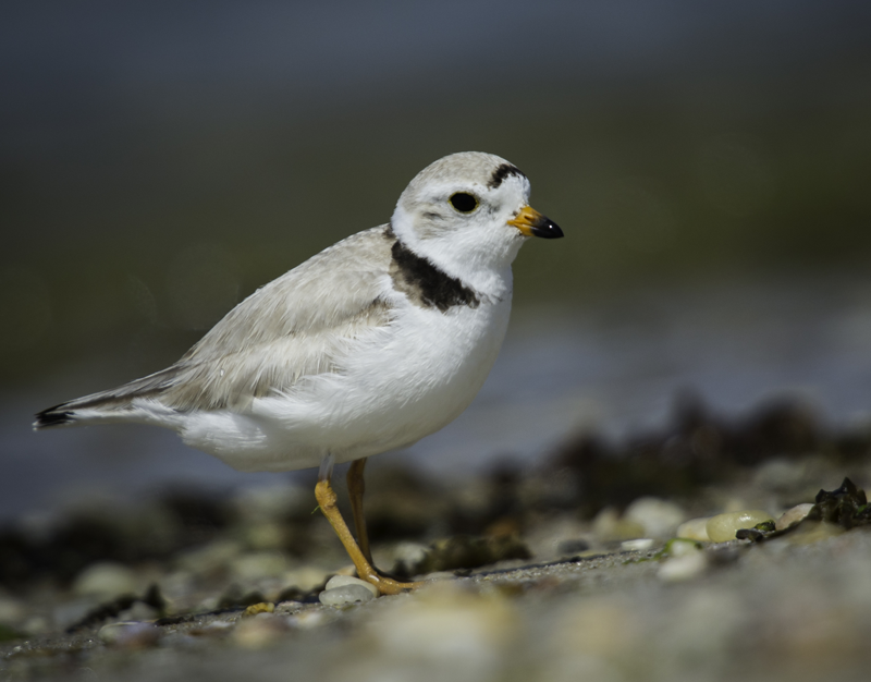 Piping plovers, like this one, were at the center of a heated threat to one environmentalist. (Credit: Tom Reichart, file)