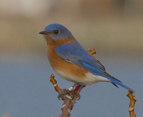 Eastern bluebirds were near extinction in the 1970s. The population on Shelter Island has increased by over 300 percent in the past 12 years. (Credit: courtesy)