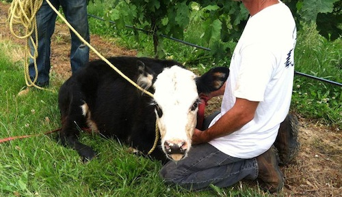 This cow escaped Breeze Hill Farm Wednesday. (Photo credit: Gillian Pultz)