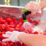 Cleaning the strawberries. (Credit: Katharine Schroeder)