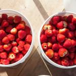 Strawberries are ready! (Credit: Katharine Schroeder)