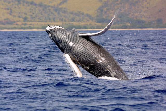 humpbackwhale_noaa_NOAA: Lookout for humpback whales in the Long Island Soundlarge