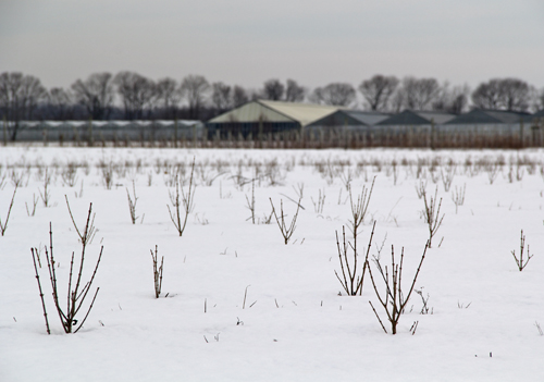 Growth at some of the Sound Avenue farms can be seen through the snow. (Carrie Miller Photo)