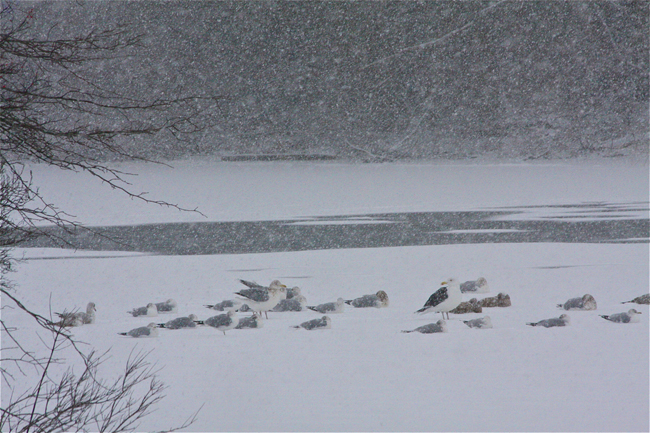 Birds hunkered down on the Peconic River in Grangebel Park Friday morning. (Credit: Barbaraellen Koch)