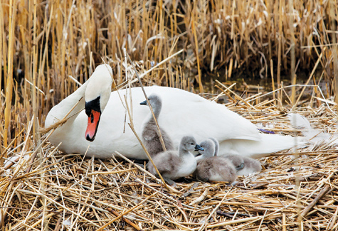 A mute swan mother with her cygnets in East Marion last year. (Credit: Katharine Schroeder, file)