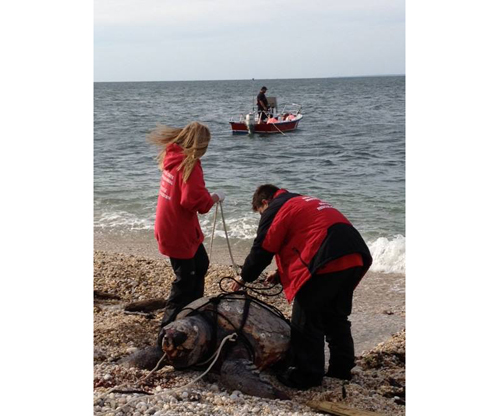 MERRY RETUS COURTESY PHOTO | Riverhead Foundation scientists are researching what caused the death of a Loggerhead sea turtle that washed up in Orient Point on Tuesday.