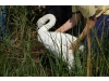Swan release at Indian Island Country Club