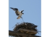 The osprey's return to the North Fork